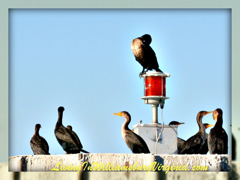 Cormorants Waiting
