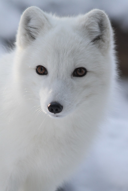 Arctic Fox Closeup Flickr Photo Sharing