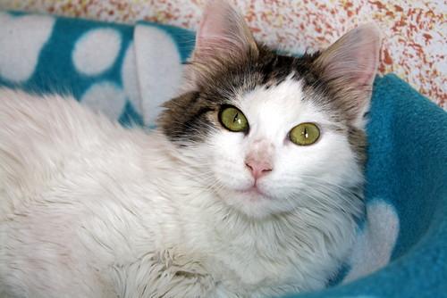 Neus, gata blanca cruce Van Turco pelo largo nacida en Julio´13 en adopción. Valencia. ADOPTADA. 12028177293_5fd1c160ec