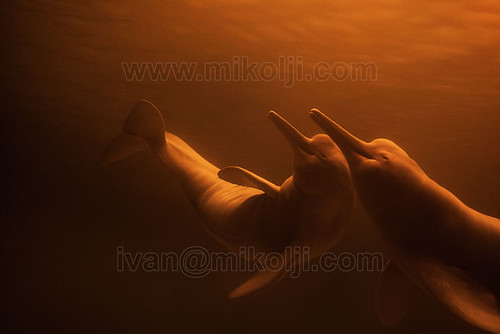 Stock Photo Freshwater Amazon River Dolphins Inia geoffrensis Images DSC03403