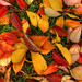 autumn_leaves-wide by samal photography