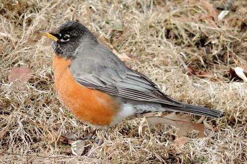#23 American Robin (Turdus migratorius)
