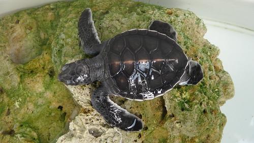 依靠在恢復桶內礁石上的小綠蠵龜。(圖片來源:農委會水產試驗所澎湖海龜救護收容中心提供)
