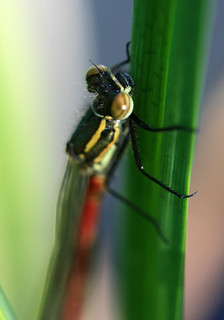 Newly Hatched Red Damselfly