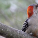 Red bellied woodpecker by E2A2