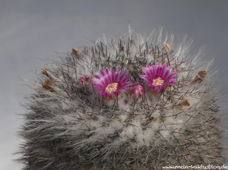 Mammillaria woodsi