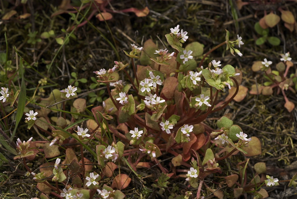 Nuttall's saxifrage