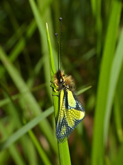 Owlfly (Libelloides coccajus) male