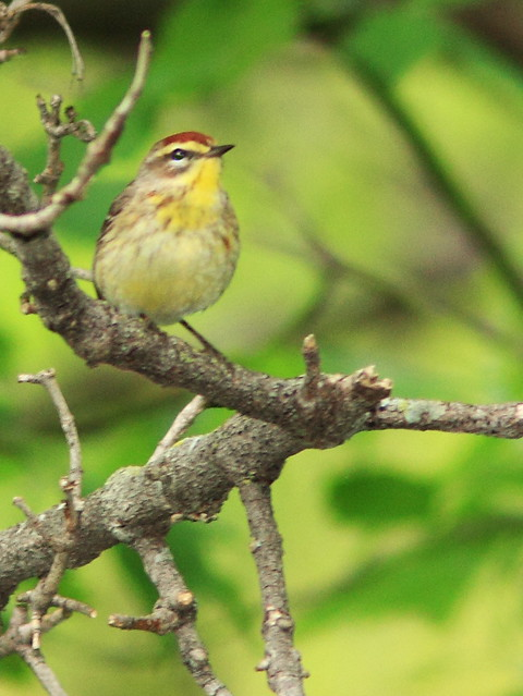 Yellow Palm Warbler 20140514