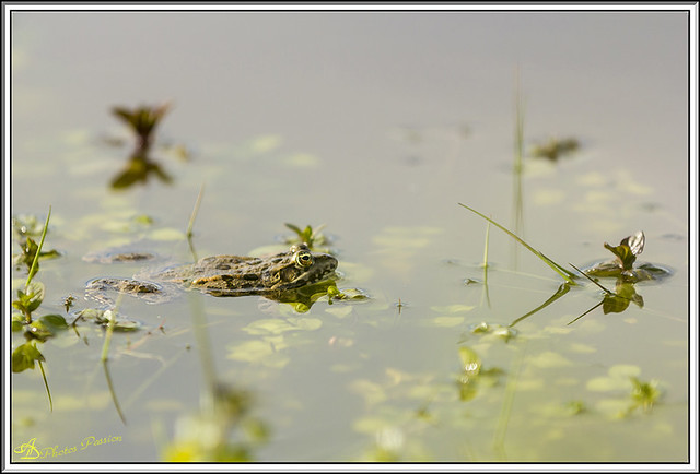 Grenouille 03