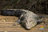 Crocodile-Tours-Jaco-Costa-Rica (Copy)