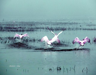 Roseate Spoonbill & Pink Flamingo Cross = Cotton Candy Swans