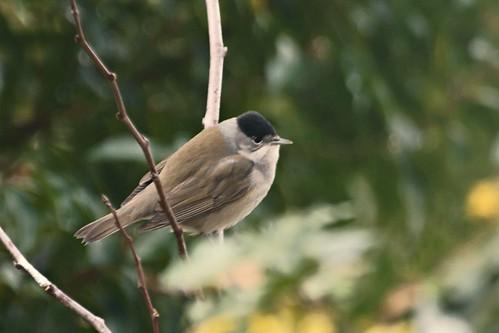 Blackcap (Sylvia atricapilla), m.