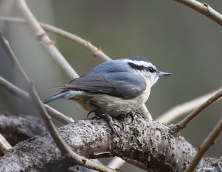 """Red-breasted Nuthatch"" ""Sitta canadensis"""