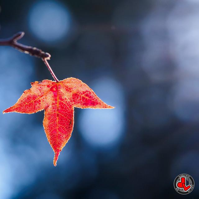 Red Leaf at HK