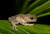 Ponmudi Bush Frog