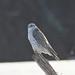 Gyrfalcon (Falco rusticolus) by Frank Mantlik