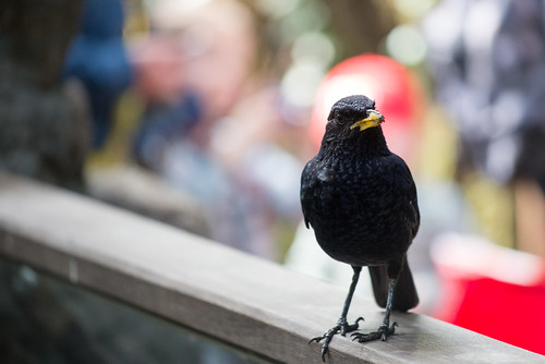 Blackbird in Central Park Zoo