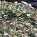 Small photo of Taff Fechan stream plants