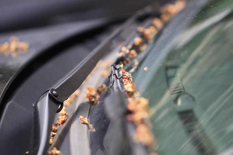 maple buds windshield