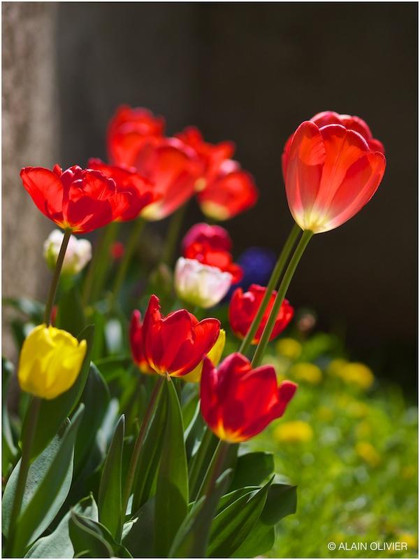 Tulipe du 1er mai 8720409356_b2323eba41_c