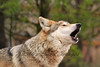 Howling Mexican Red Wolf