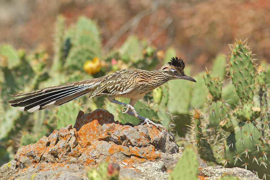 Greater Roadrunner 050513-11