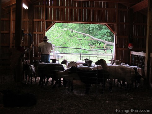 (29-13) The smaller the pen, the easier it is to catch up each sheep - FarmgirlFare.com