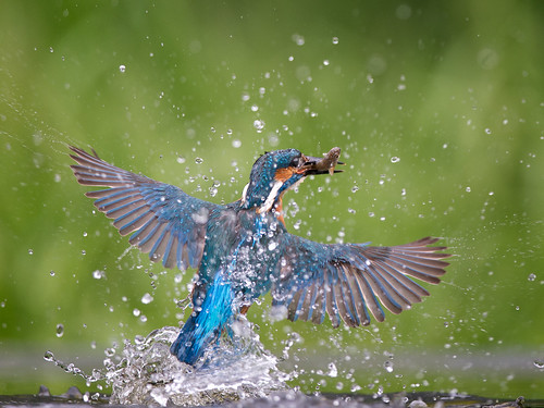 Kingfisher triumph