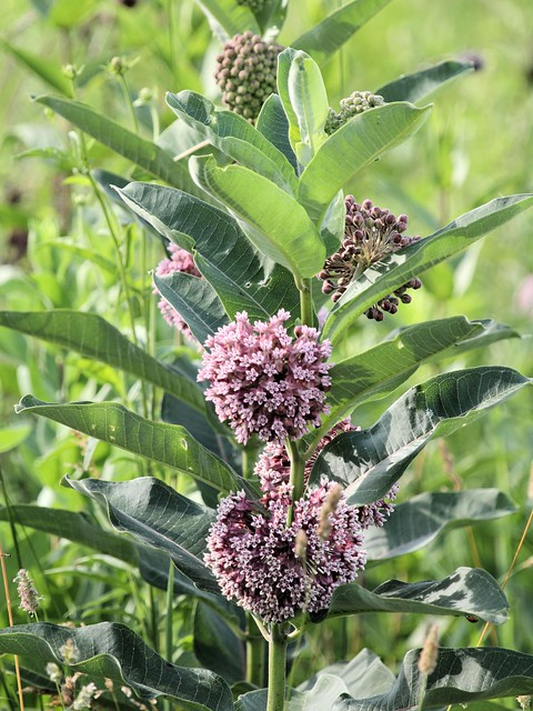 Common Milkweed 20130707