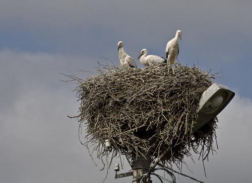 Stork Chicks