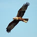 Marsh Harrier  (Tom Mabbett)