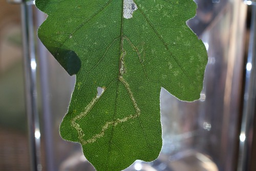 Stigmella aceris leaf mine