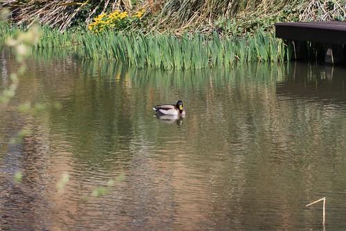Local duck