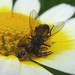 Small photo of Crab Spider ( Synema globosum) with fly.