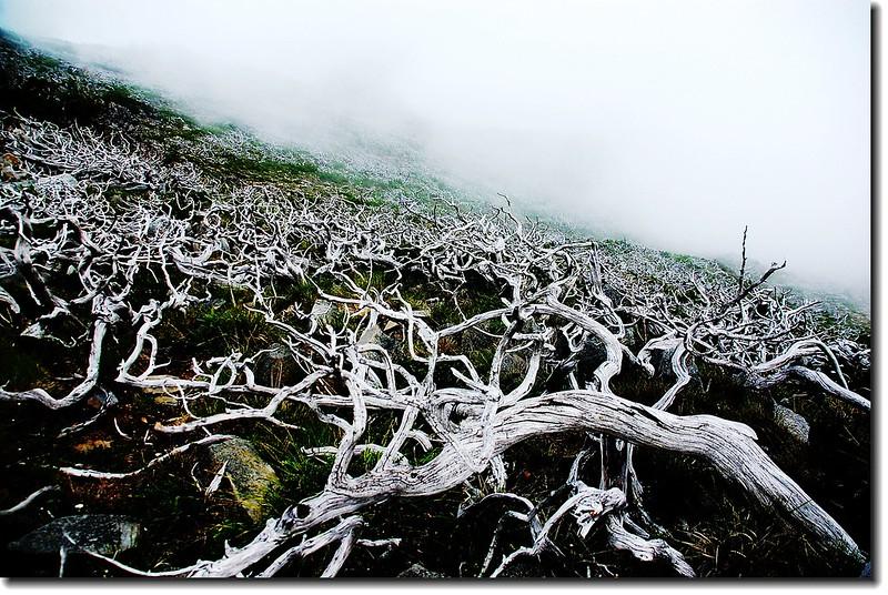 雪山白木林