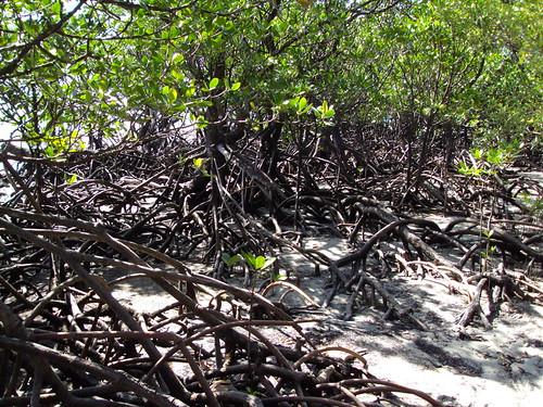 Daintree. Cape Tribulation mangroves.