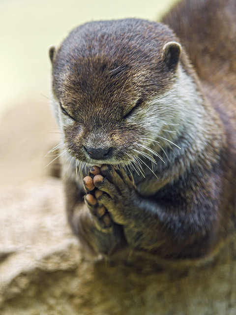 Praying otter II