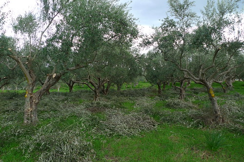 Olive Grove - Sparta, Greece