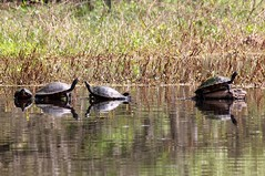 Turtles on Withlecoocee River