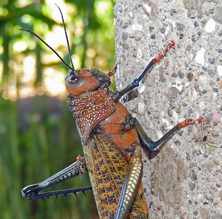 Giant Red-Winged Grasshopper - 2