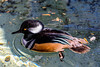 Common Hooded Merganser Male by ~~^~~Sharky