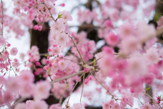 大阪城公園で満開の桜