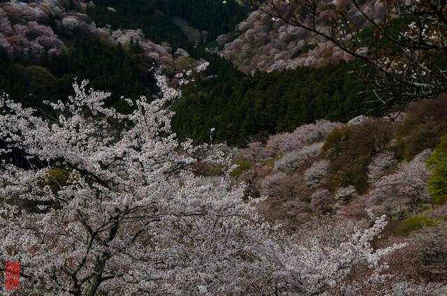 「咲き渡る」 吉野山 - 奈良