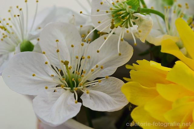 Delicatețea florilor de cireș. Experimente macro de primăvară cu obiectivul de 60 mm 13903486354_65932cb72a_z