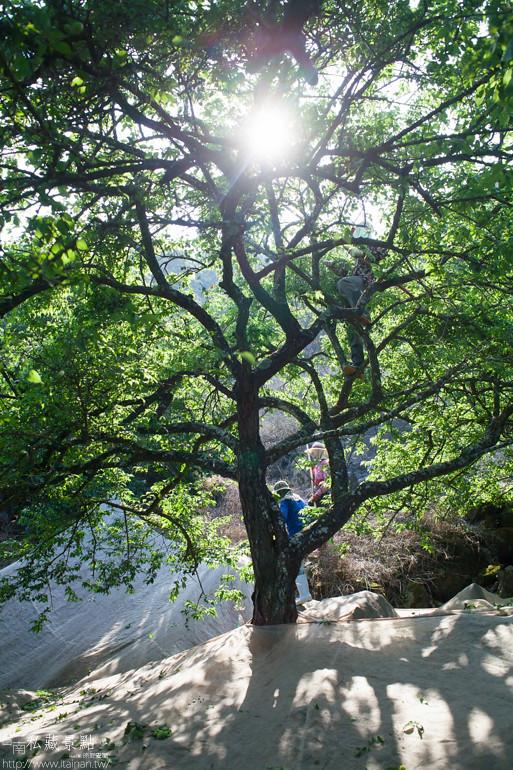 台南私藏景點--南化採梅 (5)