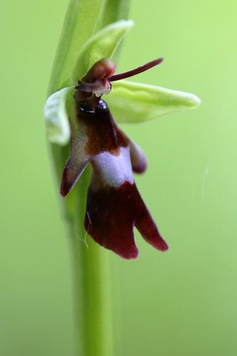 Fly Orchid, Ophrys insectifera