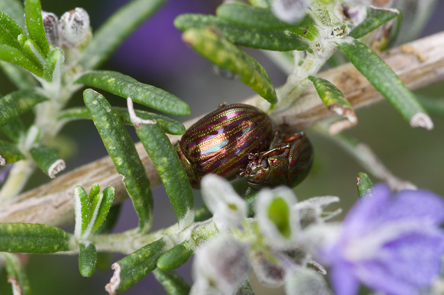 202: Rosemary Leaf Beetles