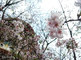 Mi3_Sakura_02