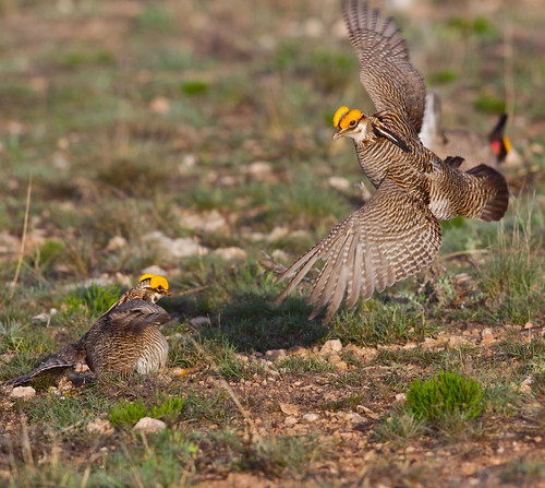 The lesser prairie-chicken is a grassland-nesting bird of the southern Great Plains. Photo by Linda Rockwell, NRCS.